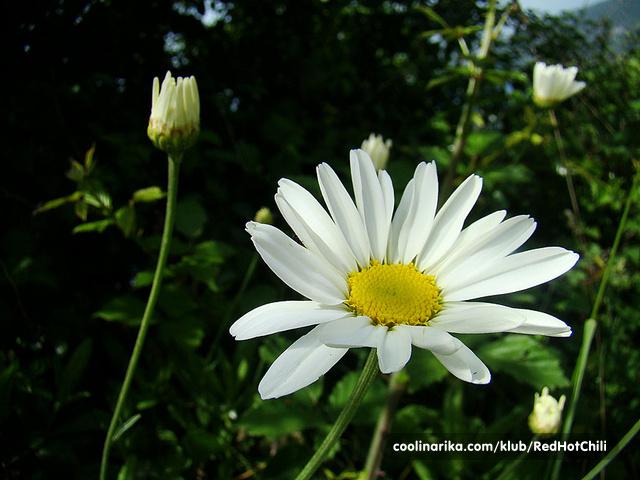 Dalmatian chrysanthemum
