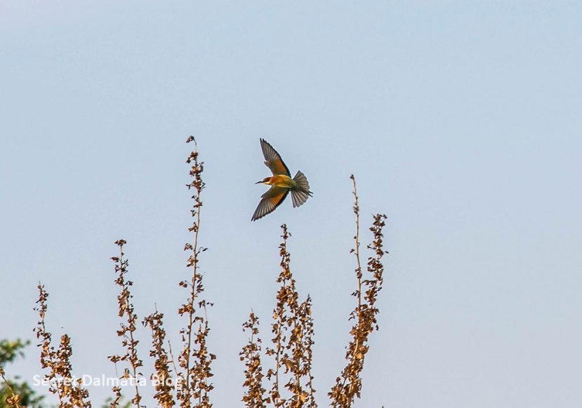 European bee-eater in Croatia